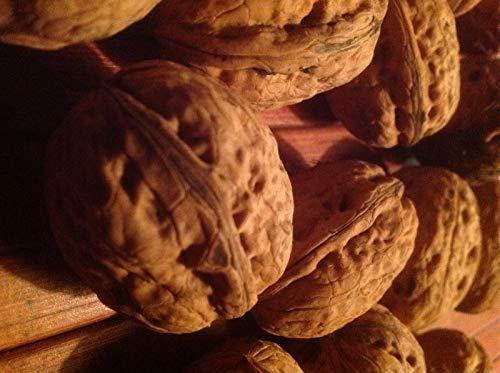 (Plentree British Walnut Seeds 1Pcs Per)