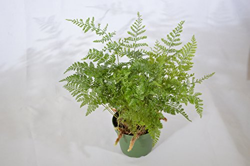 9GreenBox - Brown Rabbit's Foot Fern - 4'' Pot