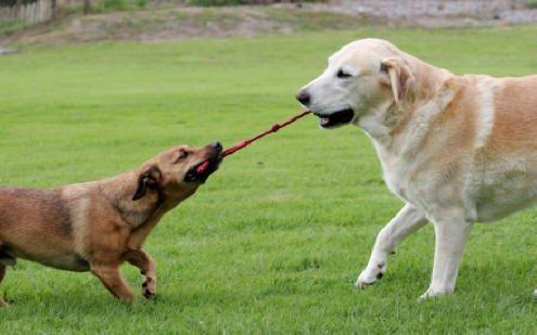 41uVGiOl1oL - Duke's Digs Dog Rope Tug