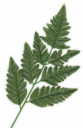 Silk Leather Leaf - Silk Leather Leaf Fern Leaf-12 stems