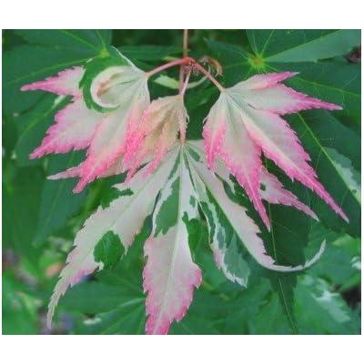 Orido Nishiki Japanese Maple 3 - Year Graft : Tree Plants : Garden & Outdoor