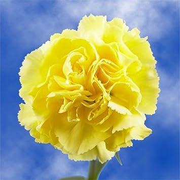 Amazon globalrose 100 fresh cut yellow carnations fresh globalrose 100 fresh cut yellow carnations fresh flowers for birthdays weddings or anniversary mightylinksfo