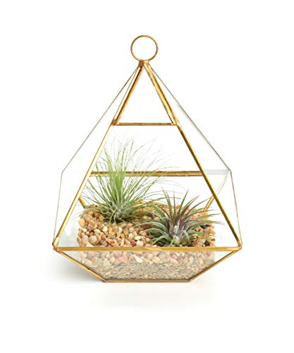 Shop Succulents Hand-Selected, Perfect as a Gift or Home Décor, Approx 5.5 x 8 Geometric Terrarium Kit | Live Air Plants Holder Decor, Gold