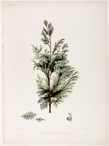 ((Cypress Tree) Cupressus tortulosa (Kashmir cypress))