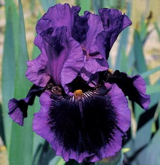 BEARDED IRIS - 2 Pagan Dance Bearded Iri - Deep Plant Iris Bulbs Shopping Results