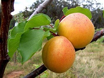 5 Semillas - Semillas Mandchurian albaricoquero - Prunus armeniaca mandshurica