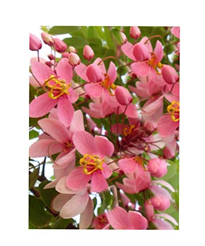 8 Seeds Rainbow Shower Tree Ornamental Tropical Plant Coral Tree Stunning Pink Blooms Cassia grandis