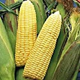 Early Sunglow Corn Seeds - 105 Seeds - Organic - DH Seeds - UPC0742137106599 - Plant Marker Included