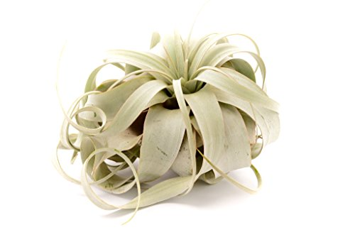 Hinterland Trading Extra Large Air Plant Xerographica 8