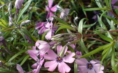 Classy Groundcovers - Phlox 'Purple Beauty' Creeping Phlox, Moss Phlox {25 Pots - 3 1/2 in.} by Classy Groundcovers (Image #2)