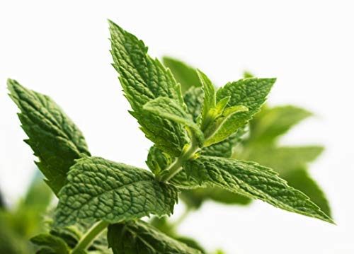 500 Peppermint Herb Seeds - Mentha Piperita, Menthol