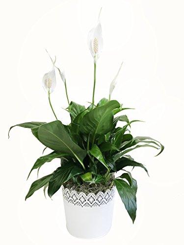 Kurt Weiss Greenhouses SPA06 Peace product image