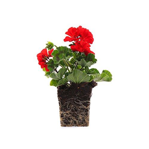 Geranium Planter - Plants by Post Quart 4in Geranium Presto Flowering Plant, 4