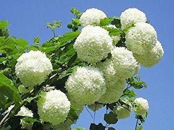 Viburnum Tree - Viburnum opulus Roseum - Snowball Tree, Gelder Rose - 3 Plants in 9cm Pots