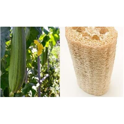 Cheap Fresh Sponge Seeds Luffa Aegyptraca Luffa Get 5 Seeds Easy Grow #GRG01YN : Garden & Outdoor