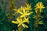 4 Starter Plants of Asphodeline Lutea