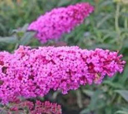 Pink Delight Butterfly Bush (Buddleia) - Live Plant - 3 Gallon Pot