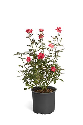 Double Knock Out Rose Bush- Large, Developed Plants for Instant Blooms- Not Tiny Quarts, Seedlings, or Seeds. Enjoy Blooms The First Year with These Large Shrubs with Double-Red Blooms - 1 Gallon by Brighter Blooms (Image #1)