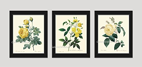 (Botanical Print Set of 3 Antique Beautiful Redoute Roses Yellow French Shabby Chic Garden Nature Plant Flowers Home Room Decor Decoration Wall Art Unframed)