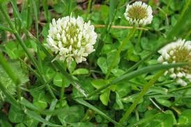 The Dirty Gardener White Clover, 1 Pound