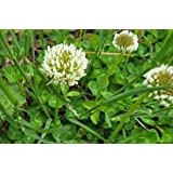 1# of White Clover Seed (Cover Crop, Pasture, Lawns, Wildlife Attractant).