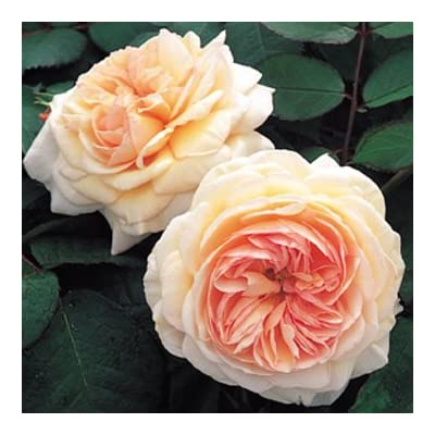 David Austin English Roses A Shropshire Lad : Garden & Outdoor