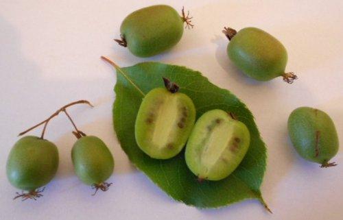 Issai Kiwi Vine 1000 Seeds -''Bulk Seeds'' by Samenchilishop(World)