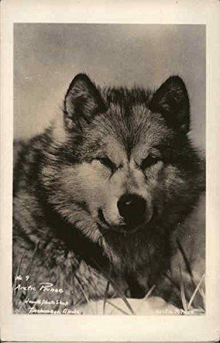 Arctic Prince Dogs Alaska Original Vintage (Hewitt Photo)