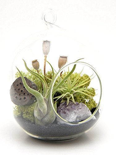 Bliss Gardens Air Plant Terrarium Kit Midnight Forest / 6