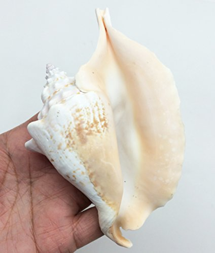 PEPPERLONELY 2PC Rooster-tail Conch Sea Shells, 3-3/4 Inch ~ 5 Inch - Conch Shell