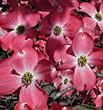 (2 gallon)RED DOGWOOD Tree, gorgeous RED flowers- Red blooms cover the tree in spring,
