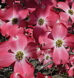 2-gallonred-dogwood-tree-gorgeous-red-flowers-red-blooms-cover-the-tree-in-spring