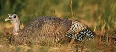 Dave Smith Submissive Hen Turkey Decoy