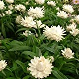 Outsidepride Helichrysum White - 5000 Seeds