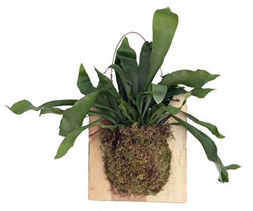(Large Live Staghorn Fern Mounted on Natural Wood Plaque- Easy Houseplant-10