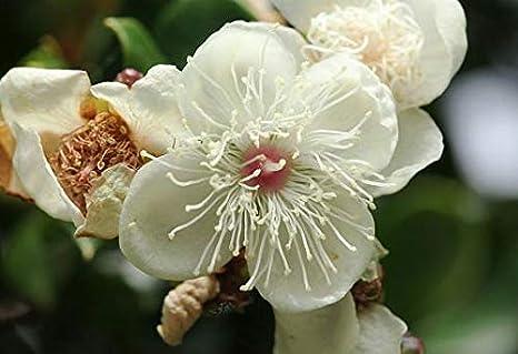 Luma apiculataArrayanChilean MyrtleShortleaf Stopper10/_Seeds