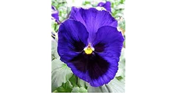 35 Annual Flower Seeds Pansy Inspire Blue Velvet