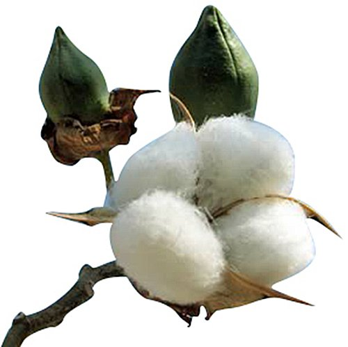 Cotton Plant Seeds - GOSS. HIRSUTUM - 20 Seeds (Best Flowers To Plant In Northern Virginia)