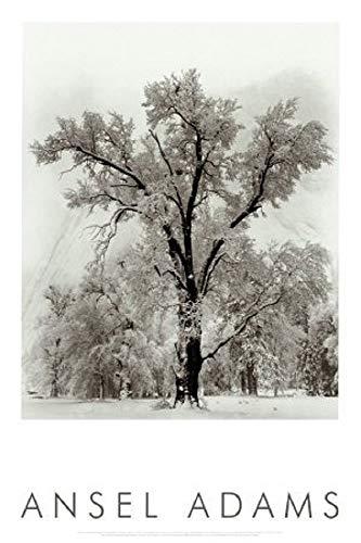 (Laminated Oak Tree, Snowstorm, Yosemite National Park, 1948 Photography by Ansel Adams Poster Print 24x36)