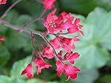 HOT - RED Coral Bells - Heuchera Sanguinea - 2700 Seeds - Perennial Flower