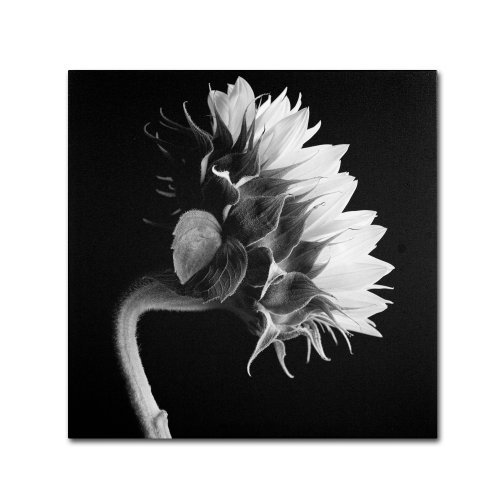 Sunflower  by Michael Harrison, 24 by 24-Inch Canvas Wall Art - Michael Floral Print
