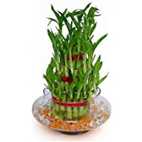 """Bonsai 3 Layer Lucky Live Bamboo Plant Indoors Outdoors With Glass Pot"""""""