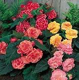 3 Begonia - Picotee - Lace Mixed bulbs