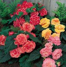 (1 Begonia - Picotee - Lace Mixed bulbs)