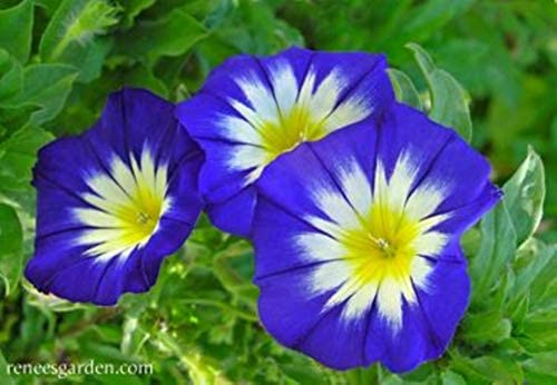 Amazon com: 10 Seeds Picotee Morning Glory Seeds Petunia