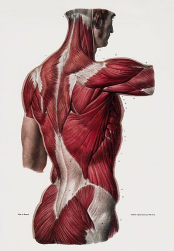Vintage 1800's Medical Human Back Upper Body Muscles Anatomical Anatomy Poster Re-Print - A2+
