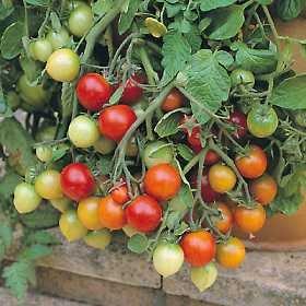 Tomato Tumbler 1,000 seeds