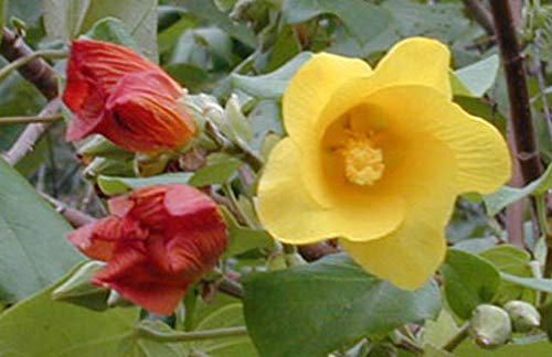 Amazoncom Hibiscus Tiliaceus Hau Sea Hibiscus Vau Tree