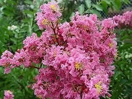 - (Quart Plant) 'SIOUX' Crape Myrtle, Everblooming, Beautiful Pink Blooms, Disease Resisitant, Attractive in All Seasons. Great for Southern Climates
