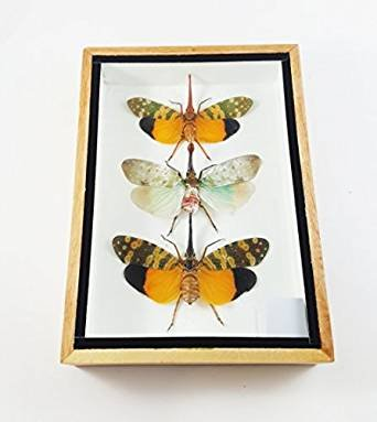 Zanna Nobilis Real Beetle Mounted Beetles Bug Insects Taxidermy Entomology Display Box